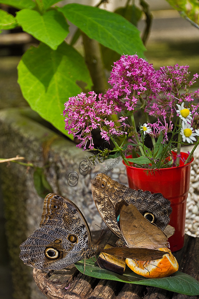 Collodi, Villa Garzoni, la Casa delle Farfalle: alcune farfalle su pezzi di frutta.
