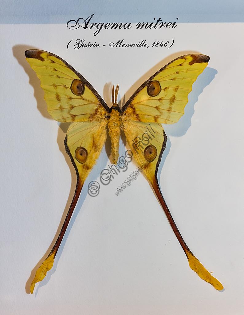 Collodi, Villa Garzoni, la Casa delle Farfalle:  farfalla Argema mitrei.