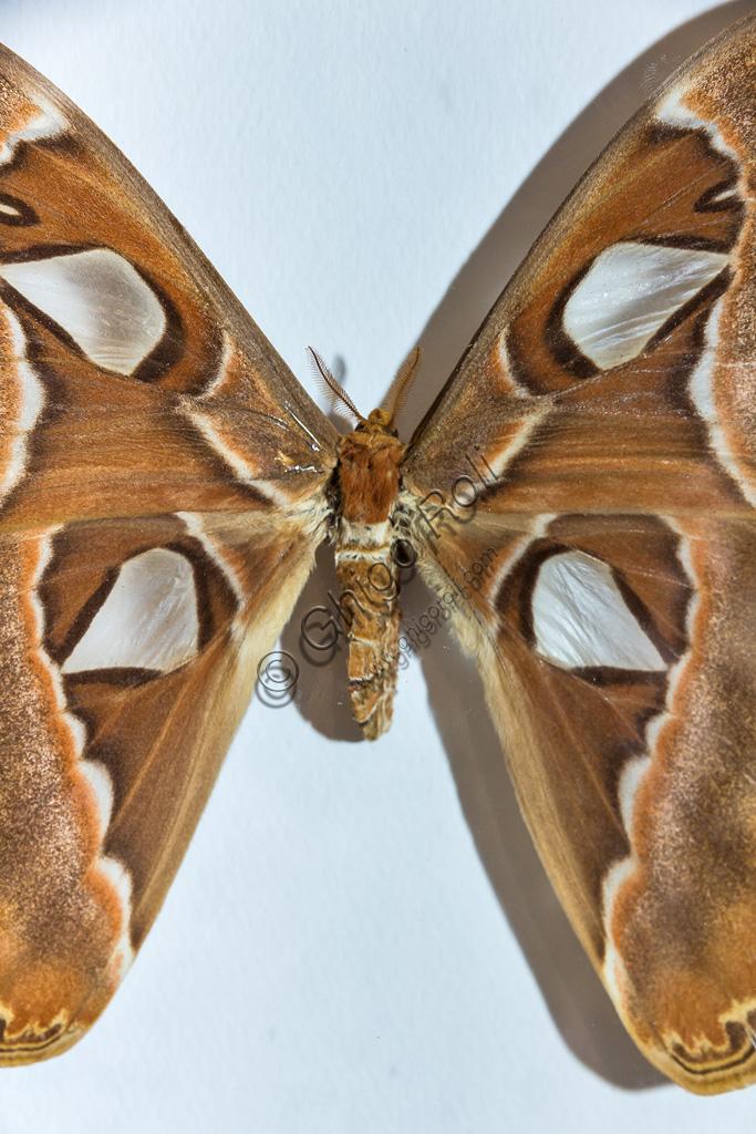 Collodi, Villa Garzoni, la Casa delle Farfalle:  farfalla Attacus atlas.