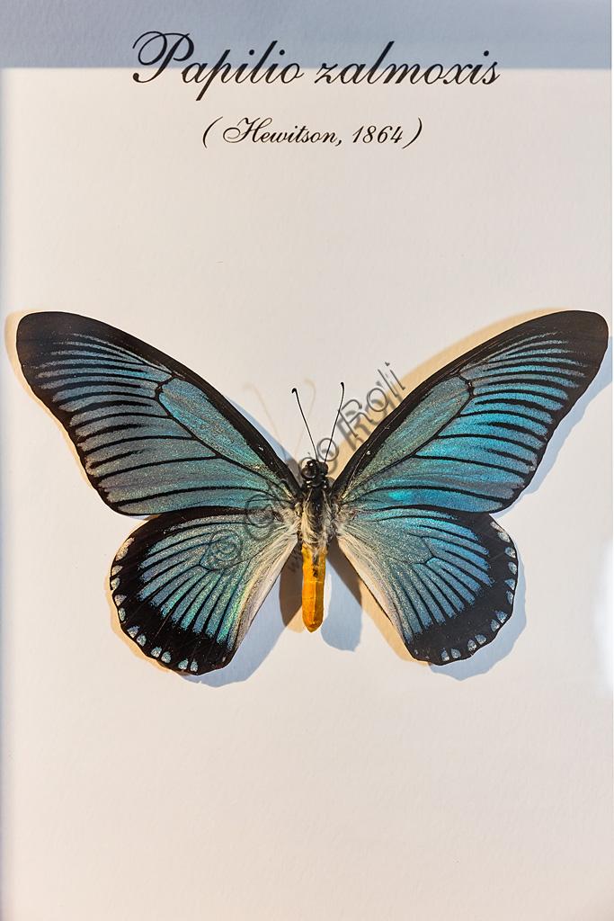 Collodi, Villa Garzoni, la Casa delle Farfalle: farfalla Papilio zalmoxis.