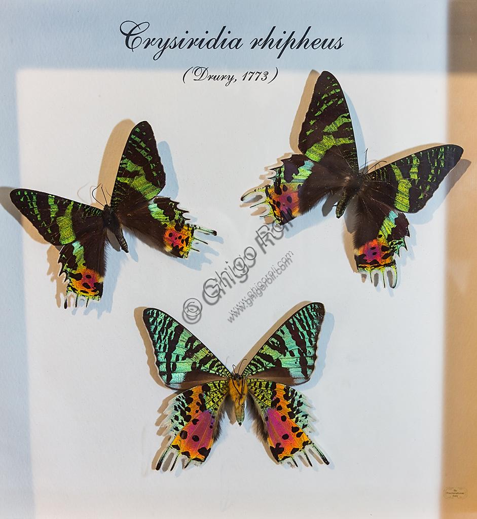 Collodi, Villa Garzoni, la Casa delle Farfalle:  farfalle  Crisiridia ripheus.