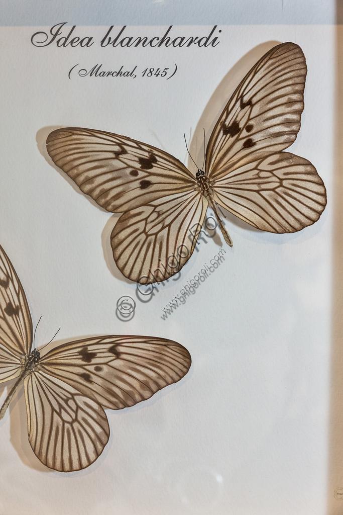 Collodi, Villa Garzoni, la Casa delle Farfalle:  farfalle  Idea blanchardi.