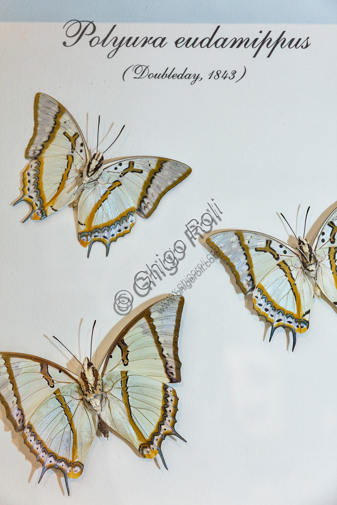 Collodi, Villa Garzoni, la Casa delle Farfalle:  farfalle  Polyura eudamippus.