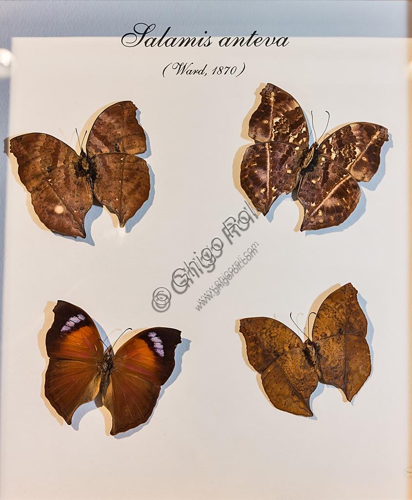 Collodi, Villa Garzoni, la Casa delle Farfalle:  farfalle  Salamis anteva.
