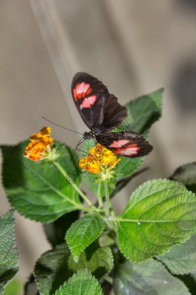Collodi, Villa Garzoni, la Casa delle Farfalle: una farfalla.