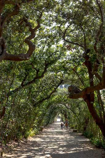 Firenze, Giardini di Boboli: viale alberato.