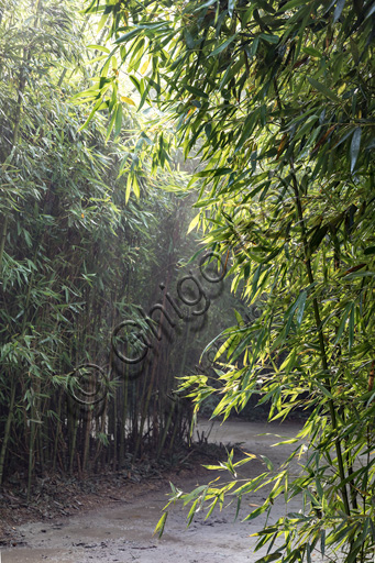 Fontanellato, Labirinto della Masone, by Franco Maria Ricci: one of the walkway with bamboo plants.
