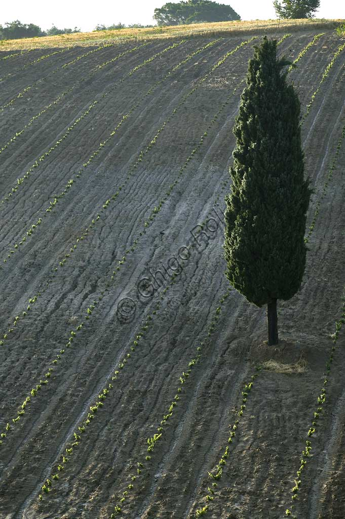 New vineyard and cypress tree near Saragano.