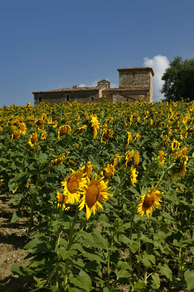 Sunflowers near the Simigni Castle.