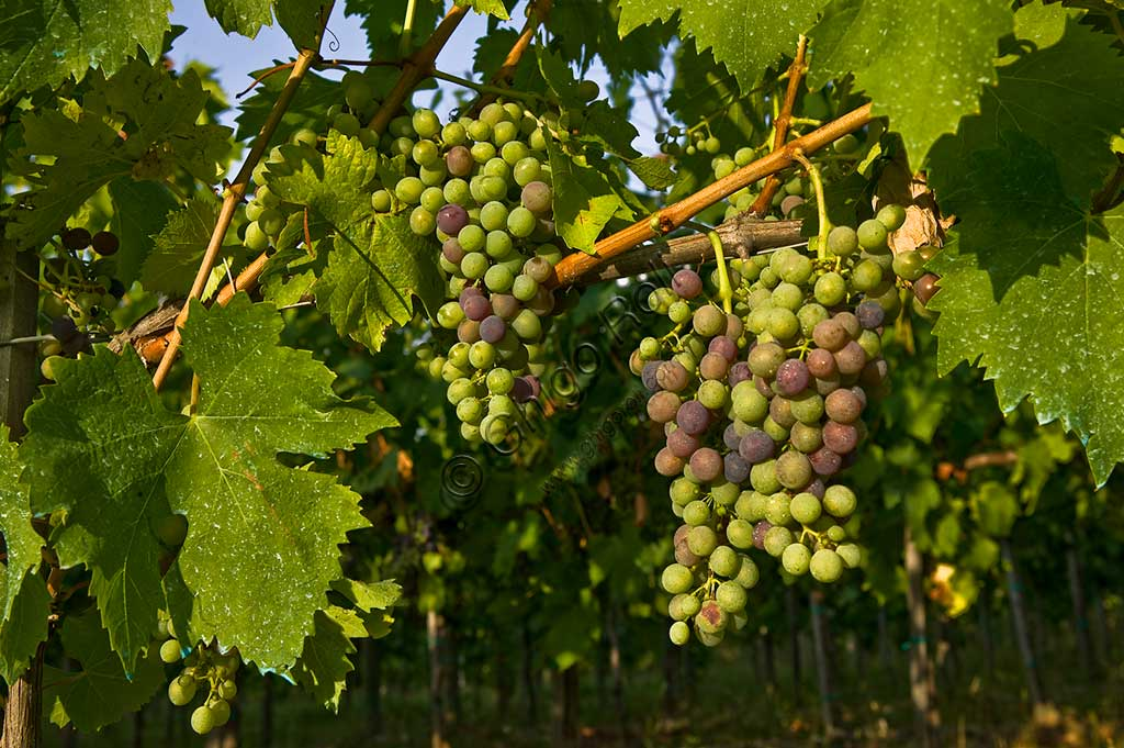 Grapes of the Sagrantino wine of Montefalco.