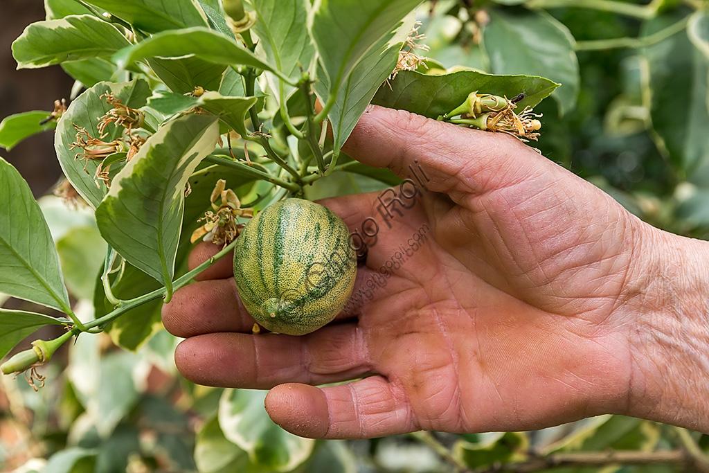 Hesperidarium, Il Giardino degli Agrumi Oscar Tintori: una varietà di limone ornamentale e i suoi frutti.