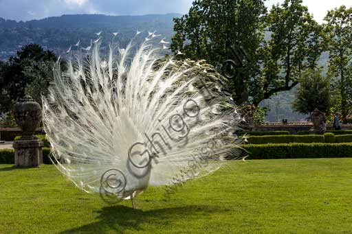 Isola Bella, the Borromeo Palace, the park with the Baroque Italian garden:  white peacock.