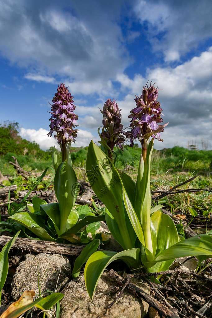 Island of San Pantaleo, Motya: flowering of wild orchids.