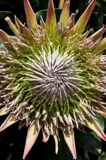 Isola Madre, the botanical garden of the Borromeo Palace, the Protea Terrace: a protea flower.