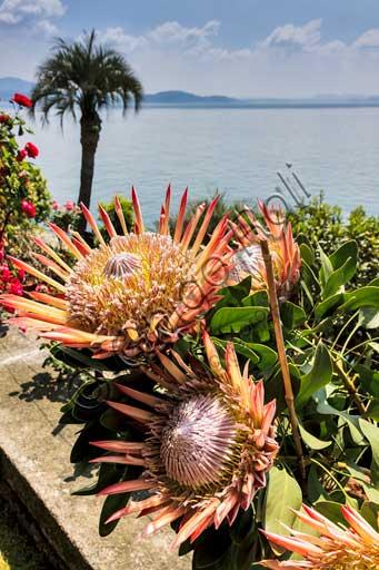 Isola Madre, the botanical garden of the Borromeo Palace:  the Protea Terrace.