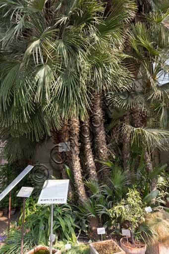 Padova, l'Orto Botanico: la Palma di Goethe. Si tratta di un esemplare di Chamaerops humilis L., cioè una palma minore o palma San Pietro o palma nana che venne messa a dimora nel 1585 e e a cui Goethe si riferì in alcuni scritti.