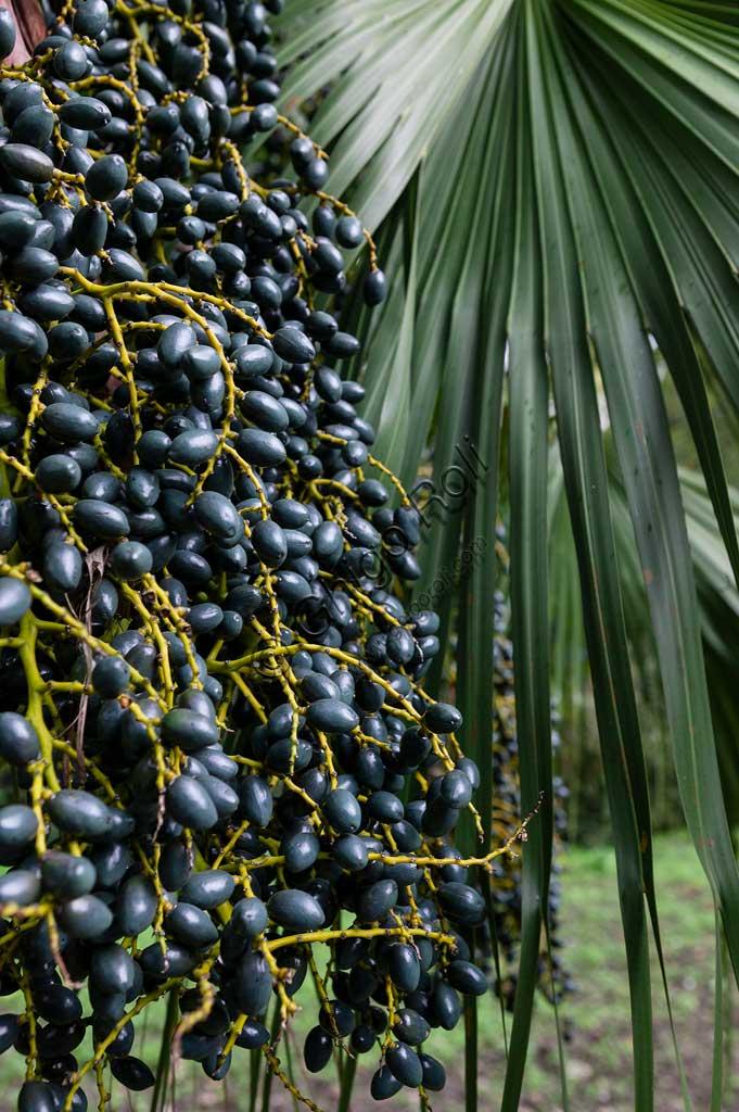 Palermo, the Botanical Gardens: palm dates.