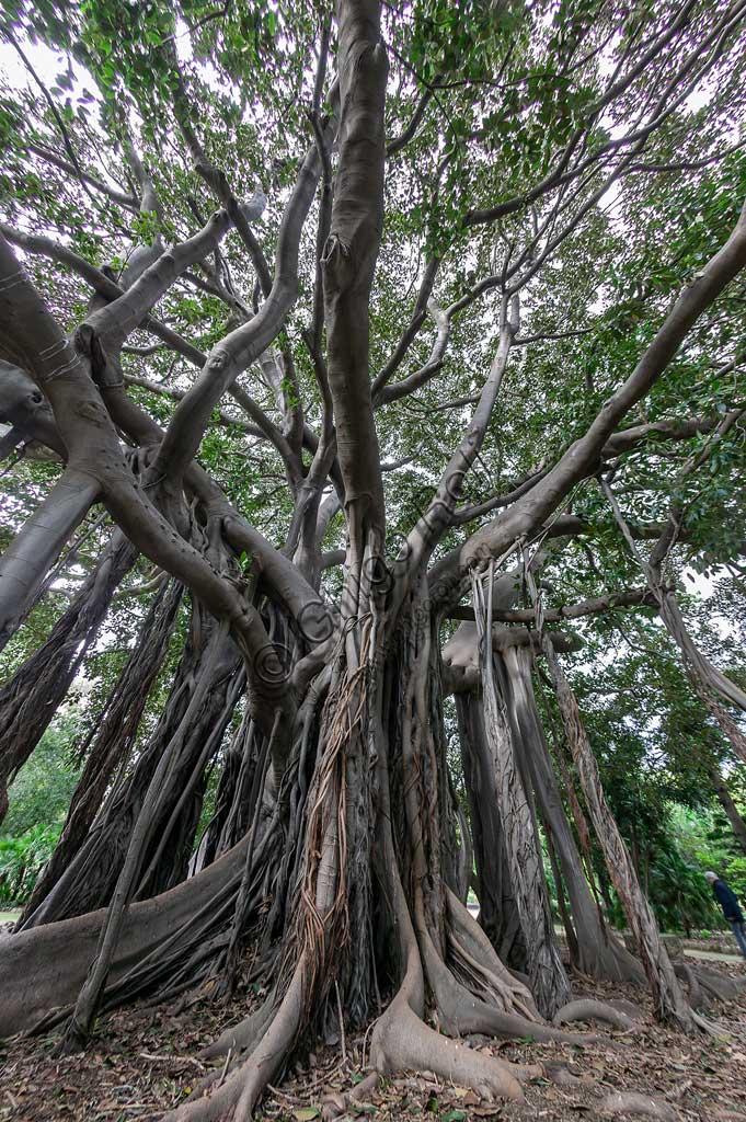 Palermo, the Botanical Gardens:   Ficus magnolioide.