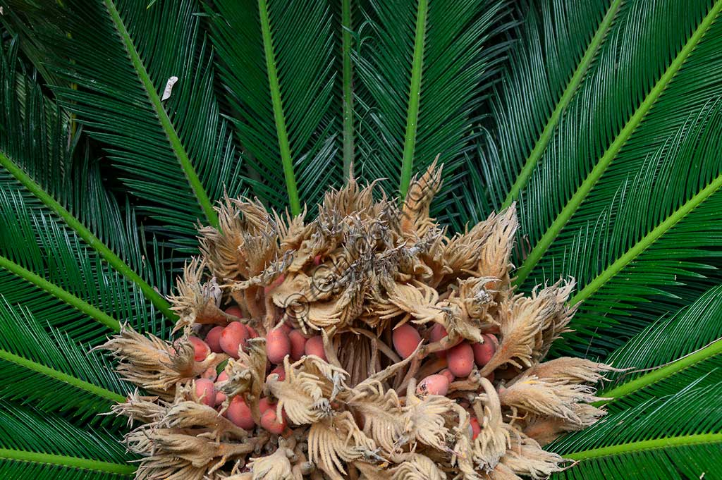 Palermo, the Botanical Gardens: flowering of a palm of the Cycas revoluta species.