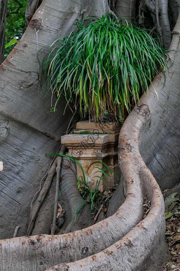 Palermo, Orto Botanico: vasi inglobati dalle radici del Ficus magnolioide.