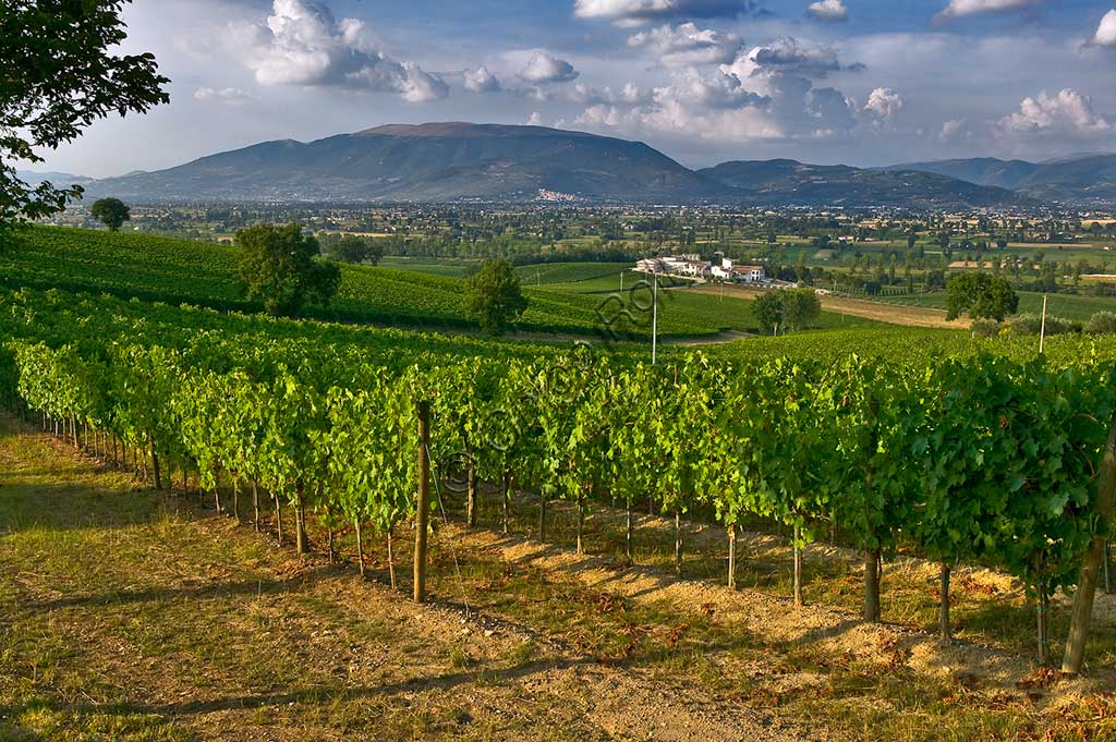 View of the vineyards and the Winery Arnaldo Caprai where the Sagrantino wine of Montefalco is produced. In the background, the Subasio Mount and the small town of Spello.