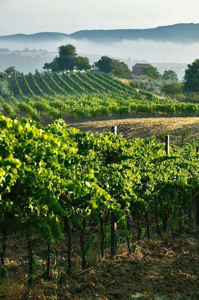 Vineyards near Saragano.