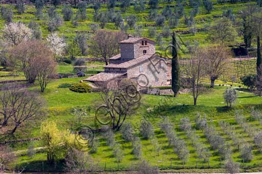 Radda in Chianti, Castello D'Albola (Medieval hamlet which is now a wine making company with vineyards, cellars and wine shop): one of the farmhouses  surrounded by olive trees and and cypresses.