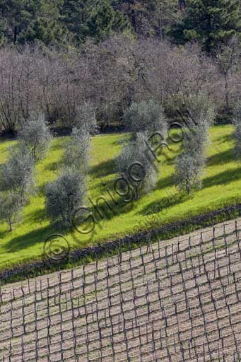 Gaiole in Chianti: countryside with vineyards and olive trees in the area of the Rocca di Castagnoli.
