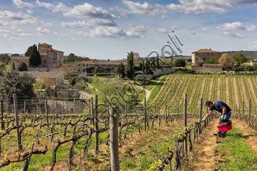 Gaiole in Chianti, Brolio Castle, Azienda Ricasoli (Wine making Company):  view on the countryside (olive trees, cypresses, vineyards) and Torricella farmhouse. Winegrower working for the biological pest control.