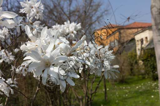 Padova, the Botanical Garden: a detail of the garden with a blossomed Magnolia stellata Maxim.