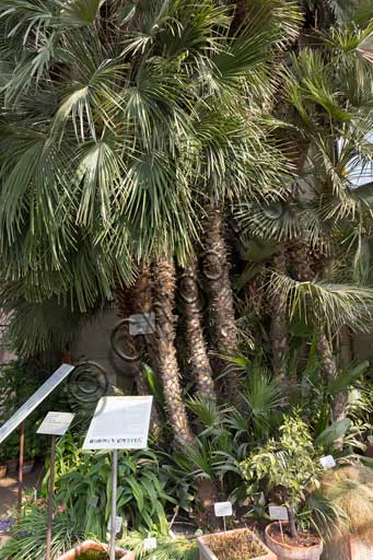 Padova, the Botanical Garden: the Goethe's Palm. It is a Chamaerops humilis L., that is a Mediterranean dwarf palm or dwarf fan palm which was planted in 1585 and mention by Goethe in some texts.